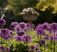 Alliums (allia?) by Christopher Cullen
