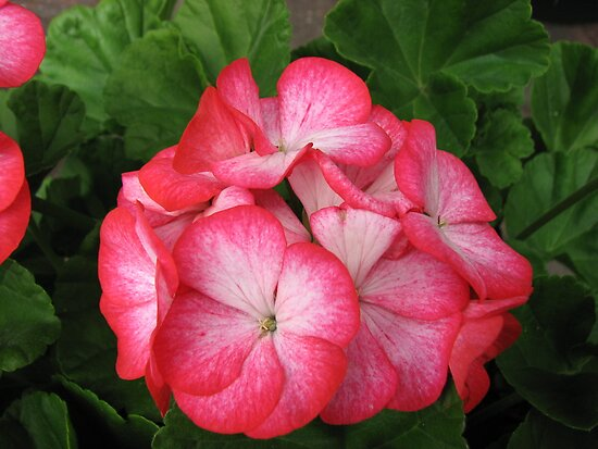 Pretty in Pink Geranium Close-up by BlueMoonRose
