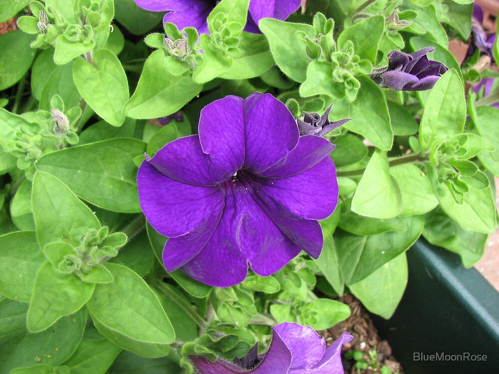 Pretty Purple Petunia by BlueMoonRose