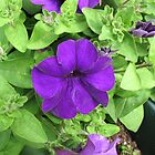 Pretty Purple Petunia by BlueMoonRose