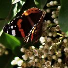 Red Admiral  by Thomas Martin