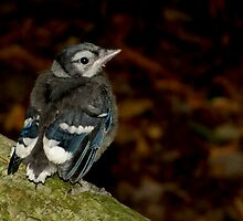 A Cute Little Baby Blue Jay by Robert Miesner