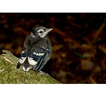 A Cute Little Baby Blue Jay Photographic Print