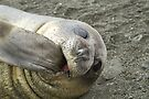 Juvenile Elephant Seal (Weaner), Gold Harbour, South Georgia by Coreena Vieth