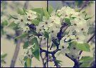 Blossom... by Carol Knudsen