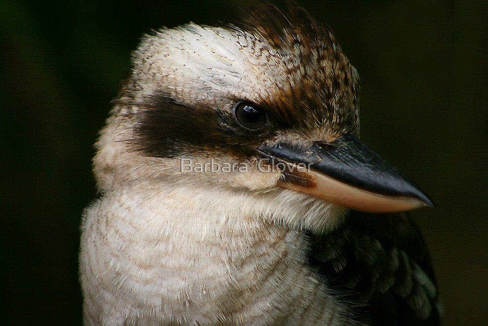 Kookaburra by Barbara  Glover