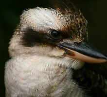 Kookaburra by Barbara  Glover