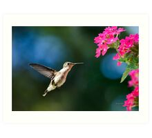 Ruby Throated Hummingbird with Pink Flowers Art Print