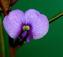 Hovea acutifolia  by andrachne
