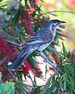 Red Wattlebird by Ian Berry