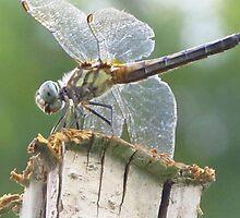 Dragonfly by carolinagirl10