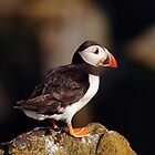 Puffin by Photo Scotland