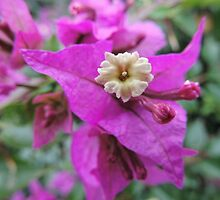 Tiny Flower of a Bougainvillea glabra by Marilyn Harris