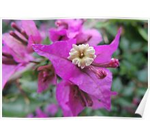 Tiny Flower of a Bougainvillea glabra Poster