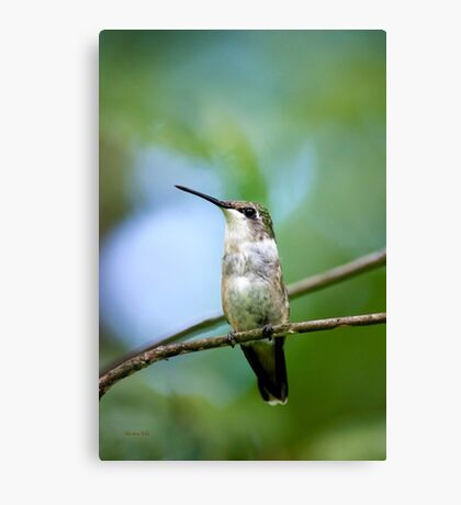 Female Hummingbird Canvas Print