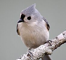 Tufted titmouse perched on a branch by Linda Crockett
