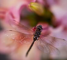 Dragonfly Peace by mikereid
