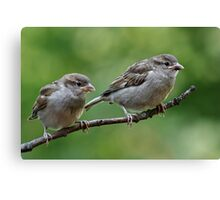 Fledgling house sparrows Canvas Print
