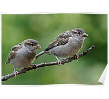 Fledgling house sparrows Poster