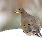 Mourning dove in the snow by Linda Crockett