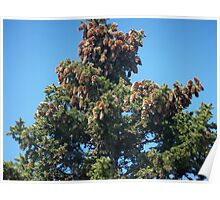 Cones on Pine Tree Poster