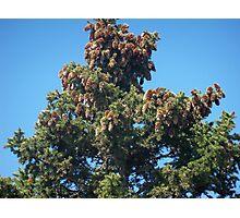 Cones on Pine Tree Photographic Print