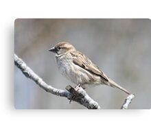 House sparrow perched on branch Canvas Print