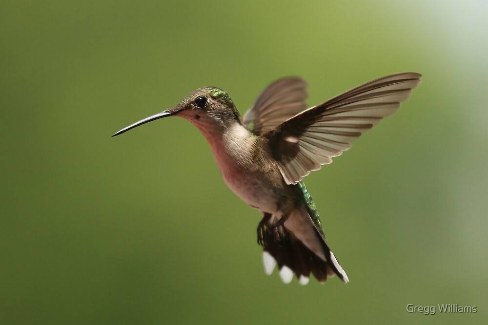 Another Hummer by Gregg Williams