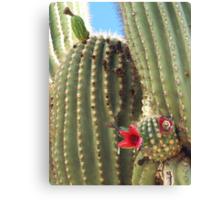 Fruit of the Saguaro Canvas Print