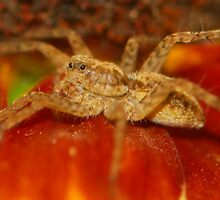 new wolf spider by davvi