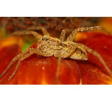 new wolf spider Photographic Print
