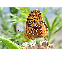 Great Spangled Fritillary. Photographic Print