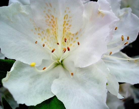 AZALEA - white  ^ by ctheworld