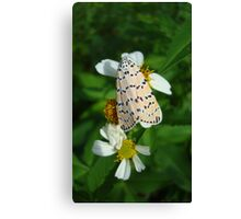 "So delightfully ""bella""!  The beautiful Ornate Bella Moth Canvas Print"