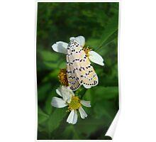 "So delightfully ""bella""!  The beautiful Ornate Bella Moth Poster"