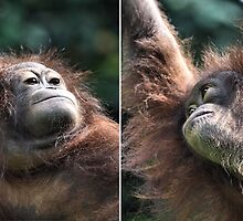"""The Four Faces of Eve"" Female Orangutan, Borneo  by Carole-Anne"