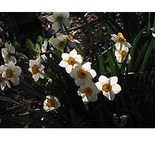 """Daffodils"" Photographic Print"