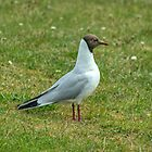 Adult Black-headed Gull  by Jamie  Green