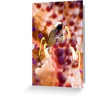 Shrimp in fire urchin Greeting Card