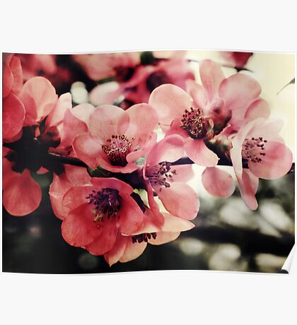 Japanese Quince - Single Branch Poster