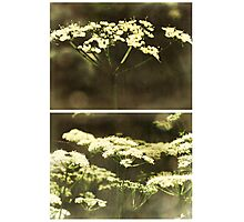 (Meadow) Sweet (Dreams) Photographic Print