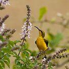 Sunbird in the basil by Jenny Dean