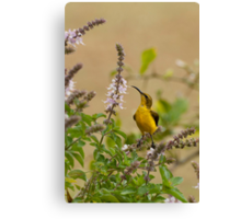 Sunbird in the basil Canvas Print