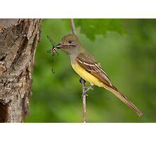 Dragon for Dinner - Great Crested Flycatcher. Photographic Print