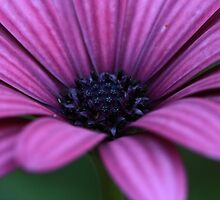 The Colour Purple by chloemay