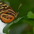 Orange, Yellow and Brown Butterfly by Paula Betz