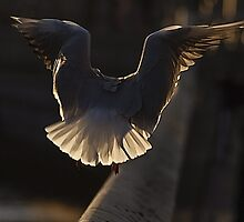 Seagull by Marcin Roger