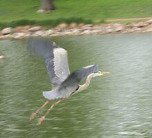 Blue Herron Flying by Gordon Pegler