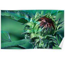 Sunflower Bud Poster