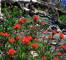 Scarlet Paintbrush by CarrieAnn
